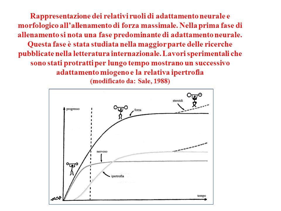 Rappresentazione dei relativi ruoli di adattamento neurale e morfologico allallenamento di forza massimale. Nella prima fase di allenamento si nota un