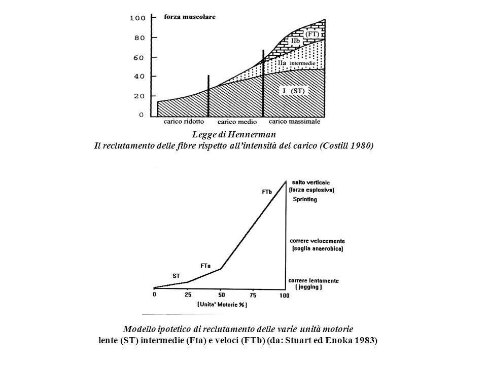 Legge di Hennerman Il reclutamento delle fibre rispetto allintensità del carico (Costill 1980) Modello ipotetico di reclutamento delle varie unità mot