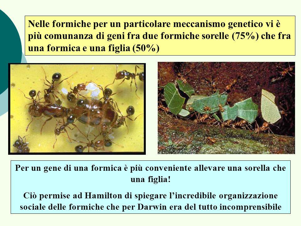 Nelle formiche per un particolare meccanismo genetico vi è più comunanza di geni fra due formiche sorelle (75%) che fra una formica e una figlia (50%)