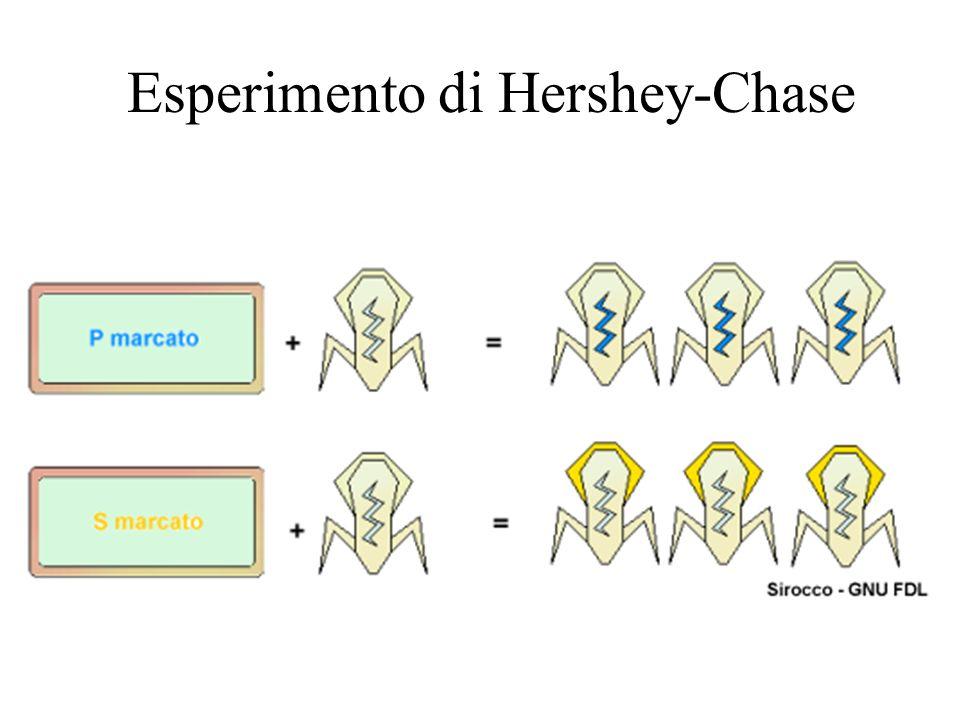 Esperimento di Hershey-Chase
