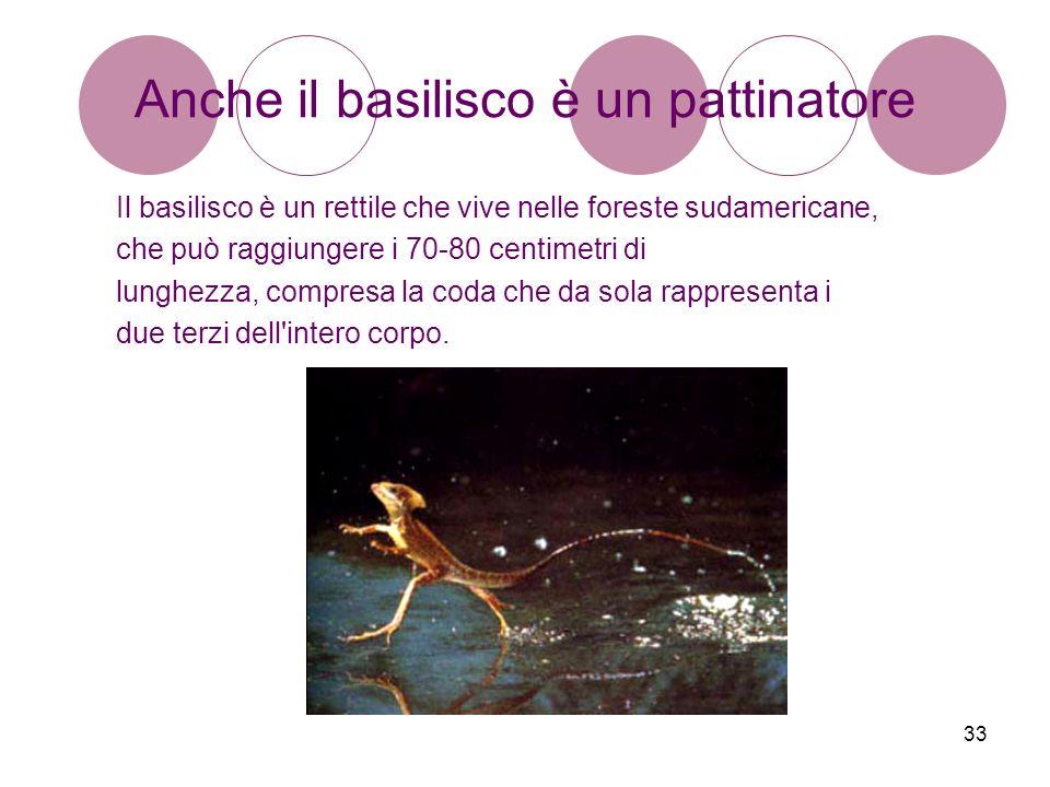 33 Anche il basilisco è un pattinatore Il basilisco è un rettile che vive nelle foreste sudamericane, che può raggiungere i 70-80 centimetri di lunghe
