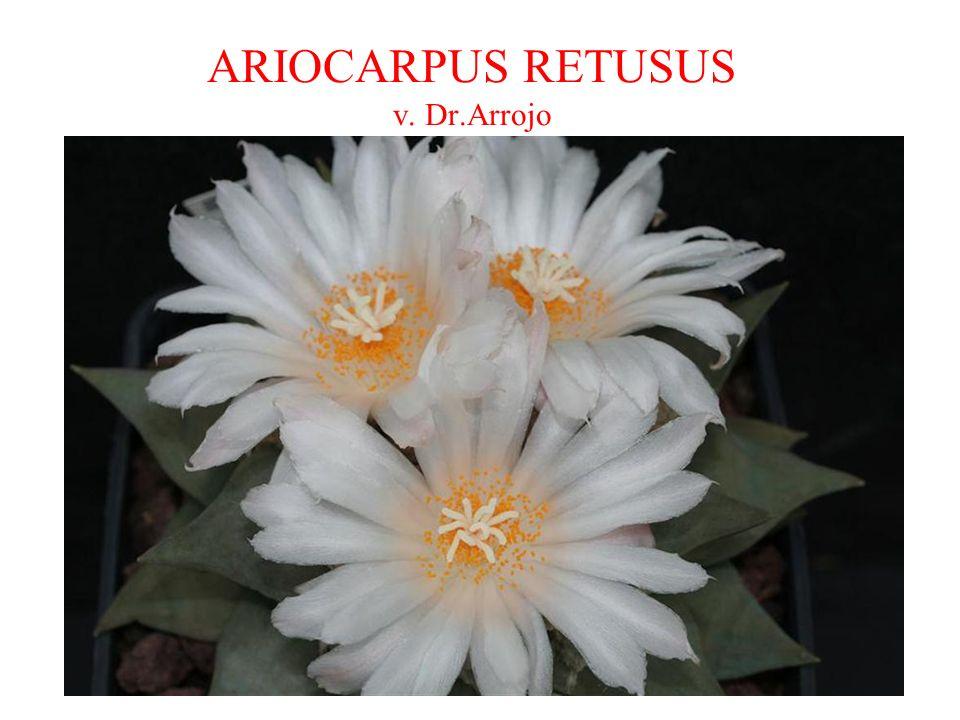 ARIOCARPUS RETUSUS v. Dr.Arrojo