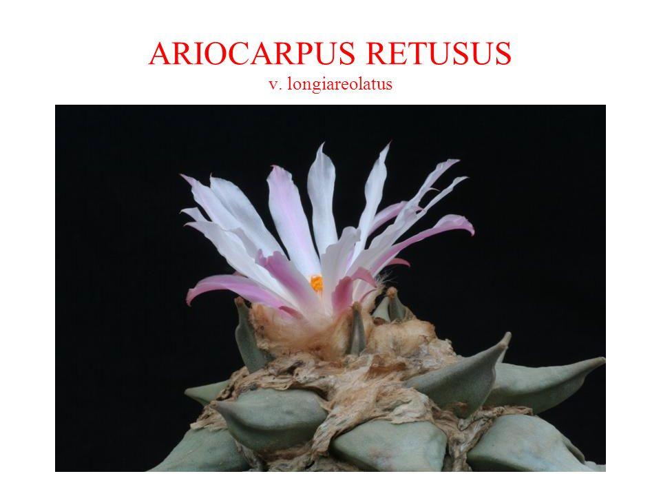 ARIOCARPUS RETUSUS v. longiareolatus