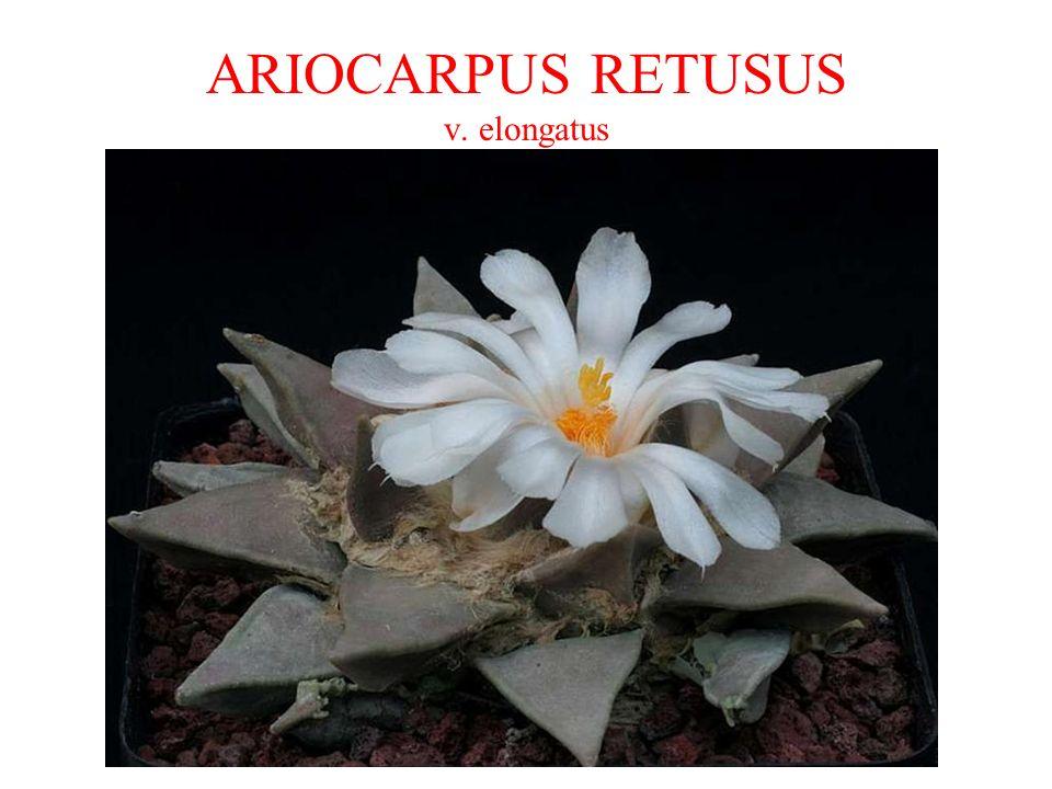 ARIOCARPUS RETUSUS v. elongatus