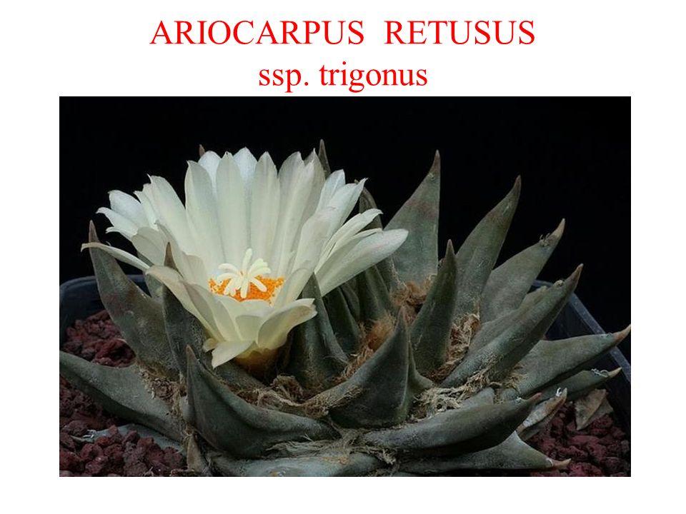 ARIOCARPUS RETUSUS ssp. trigonus