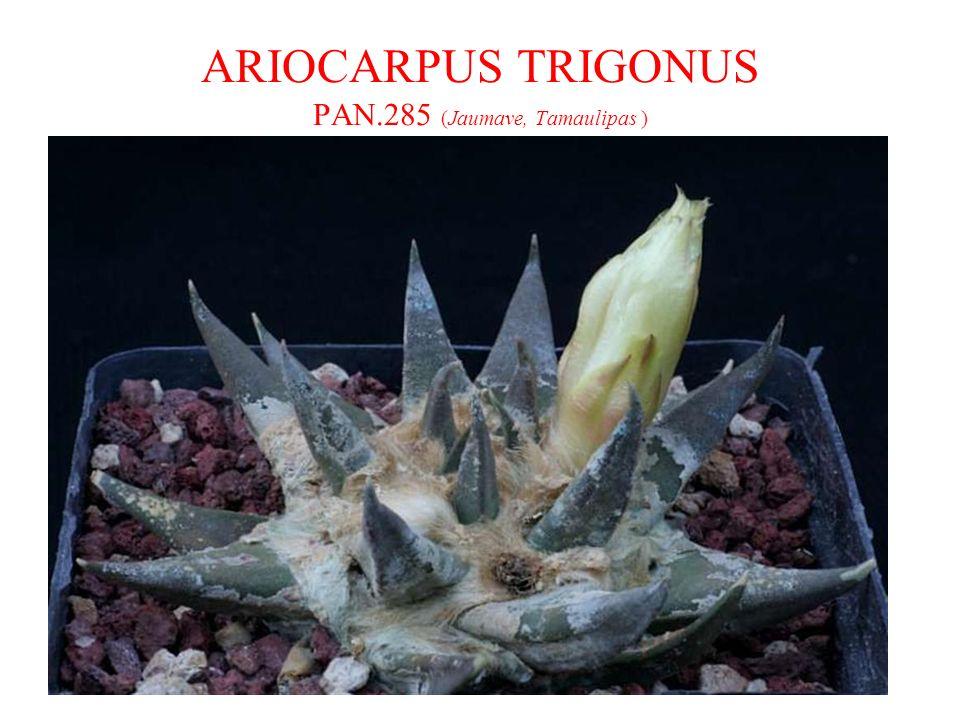 ARIOCARPUS TRIGONUS PAN.285 (Jaumave, Tamaulipas )