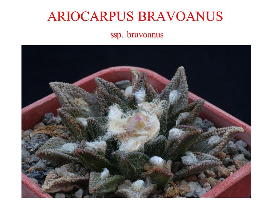 ARIOCARPUS BRAVOANUS ssp. bravoanus