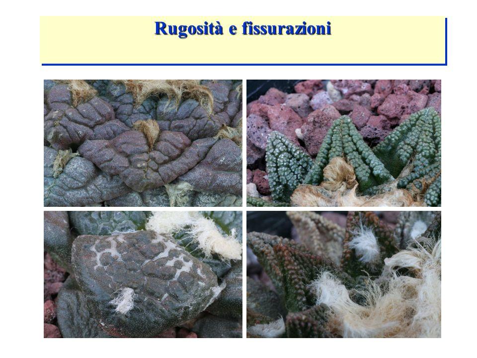 ARIOCARPUS FISSURATUS Rugosità e fissurazioni