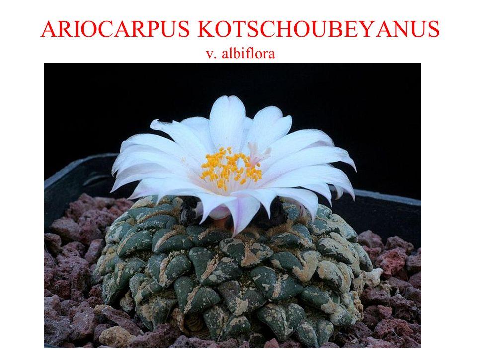 ARIOCARPUS KOTSCHOUBEYANUS v. albiflora
