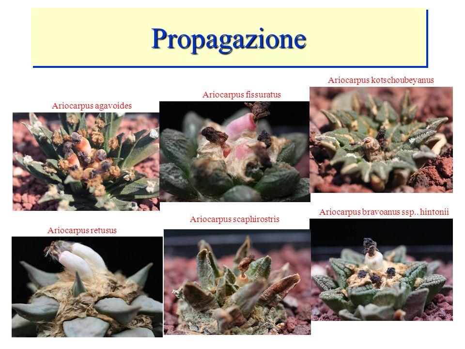 PropagazionePropagazione Ariocarpus retusus Ariocarpus agavoides Ariocarpus fissuratus Ariocarpus kotschoubeyanus Ariocarpus scaphirostris Ariocarpus