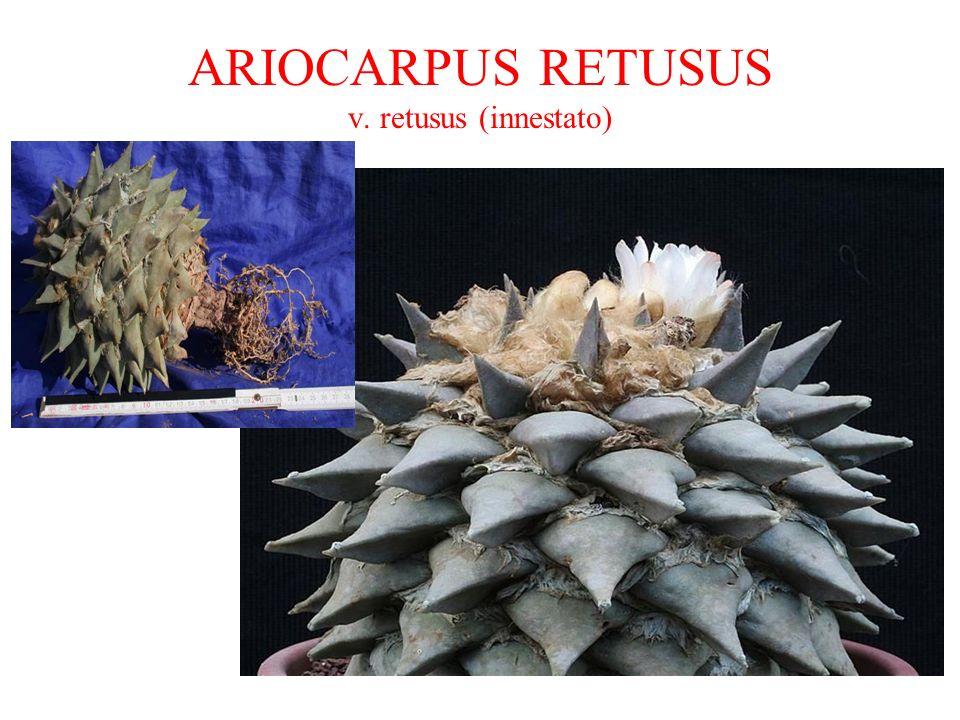 ARIOCARPUS RETUSUS v. retusus (innestato)