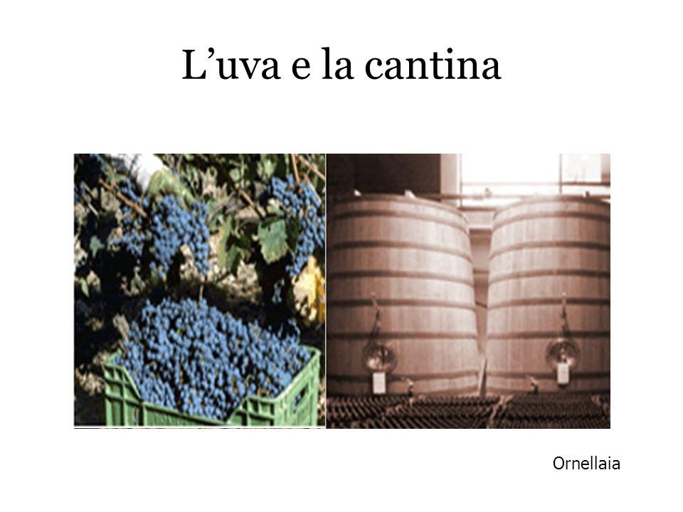 Luva e la cantina Ornellaia