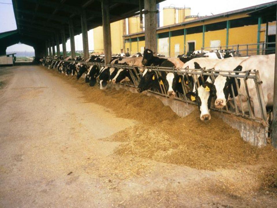 Identificazione del Calore In una ricerca della Penn-State dal 7% al 20% delle vacche fecondate non era in calore I segni del calore possono durare da 6 a 28 ore I calori si ripetono con intervalli di 18-24 giorni La identificazione del calore inizia con la corretta identificazione degli animali e la registrazione dei dati relativi.
