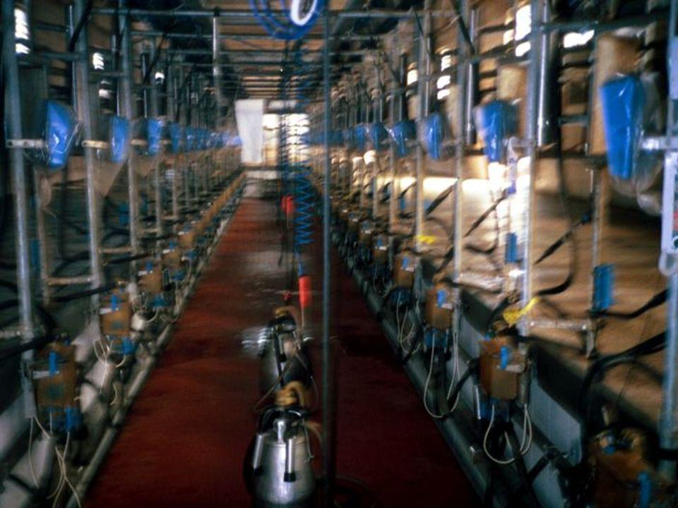 COME SI RICONOSCE IL CALORE Il calore è il periodo durante il quale la vacca accetta la monta IMMOBILITA ALLO SCAVALCAMENTO VULVA ARROSSATA E GONFIA SCAVALCAMENTO DELLE COMPAGNE PERDITA DI MUCO IRREQUIETEZZA MUGGITO CONTINUO RITENZIONE DI LATTE