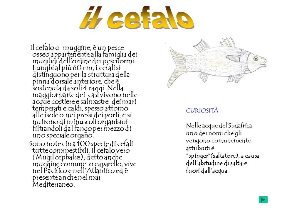 Il cefalo o muggine, è un pesce osseo appartenente alla famiglia dei mugilidi dellordine dei pesciformi. Lunghi al più 60 cm, i cefali si distinguono