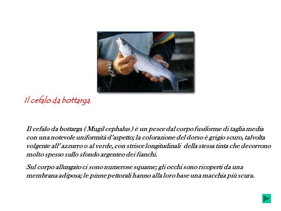 Il cefalo da bottarga. Il cefalo da bottarga ( Mugil cephalus ) è un pesce dal corpo fusiforme di taglia media con una notevole uniformità daspetto; l