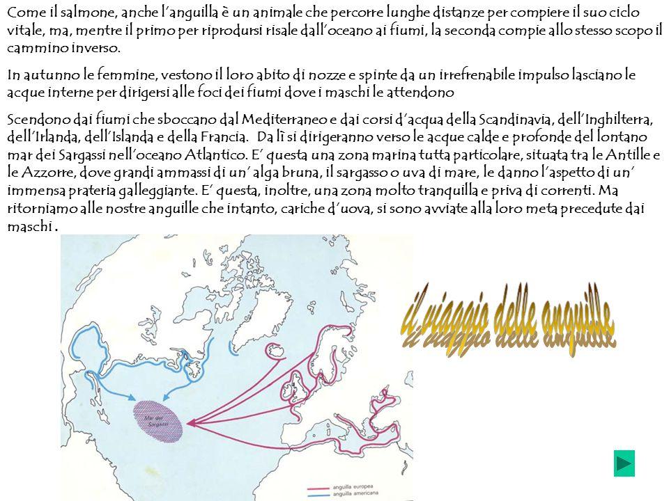 Come il salmone, anche languilla è un animale che percorre lunghe distanze per compiere il suo ciclo vitale, ma, mentre il primo per riprodursi risale