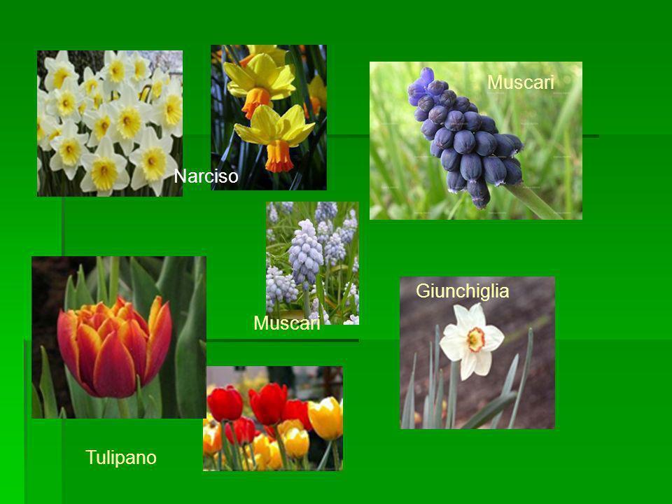 Giunchiglia Tulipano Muscari Narciso