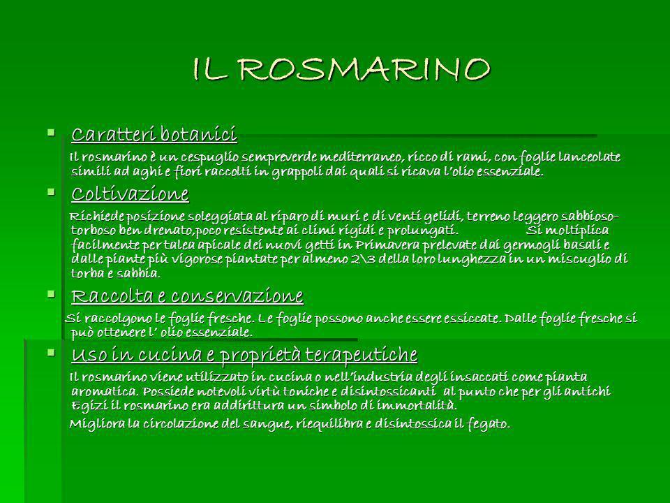 IL ROSMARINO Caratteri botanici Caratteri botanici Il rosmarino è un cespuglio sempreverde mediterraneo, ricco di rami, con foglie lanceolate simili a