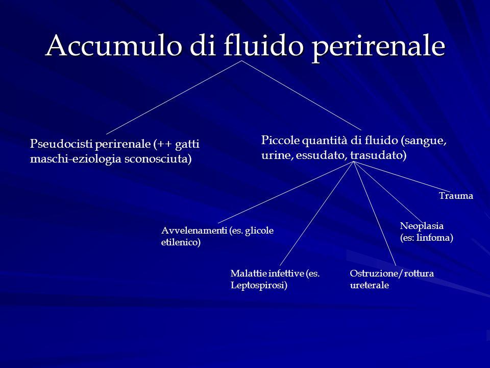 Accumulo di fluido perirenale Pseudocisti perirenale (++ gatti maschi-eziologia sconosciuta) Piccole quantità di fluido (sangue, urine, essudato, tras