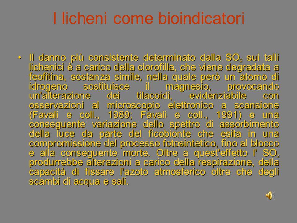 I licheni come bioindicatori Il danno più consistente determinato dalla SO 2 sui talli lichenici è a carico della clorofilla, che viene degradata a feofitina, sostanza simile, nella quale però un atomo di idrogeno sostituisce il magnesio, provocando un alterazione dei tilacoidi, evidenziabile con osservazioni al microscopio elettronico a scansione (Favali e coll., 1989; Favali e coll., 1991) e una conseguente variazione dello spettro di assorbimento della luce da parte del ficobionte che esita in una compromissione del processo fotosintetico, fino al blocco e alla conseguente morte.
