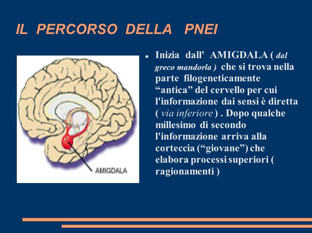 IL PERCORSO DELLA PNEI Inizia dall' AMIGDALA ( dal greco mandorla ) che si trova nella parte filogeneticamente antica del cervello per cui l'informazi