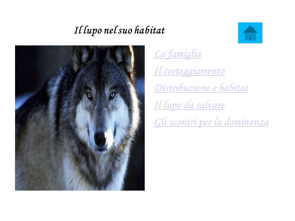 Il lupo nel suo habitat La famiglia Il corteggiamento Distribuzione e habitat Il lupo da salvare Gli scontri per la dominanza