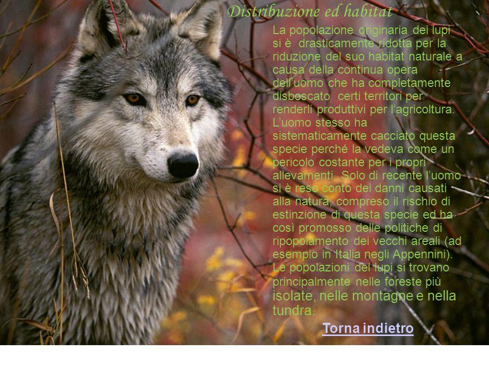 Distribuzione ed habitat La popolazione originaria dei lupi si è drasticamente ridotta per la riduzione del suo habitat naturale a causa della continua opera delluomo che ha completamente disboscato certi territori per renderli produttivi per lagricoltura.