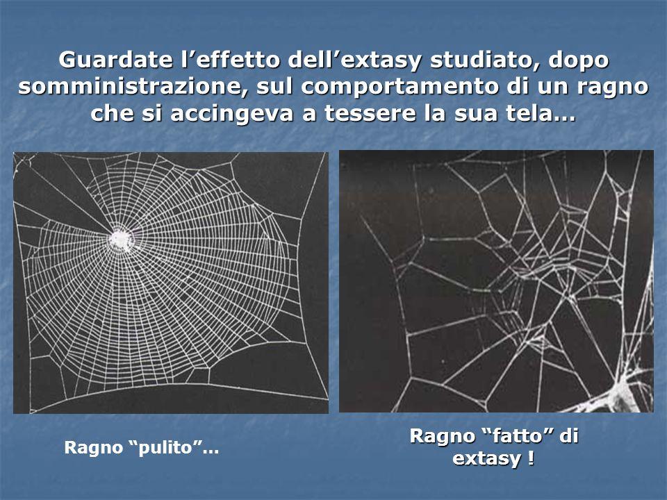 Guardate leffetto dellextasy studiato, dopo somministrazione, sul comportamento di un ragno che si accingeva a tessere la sua tela… Ragno fatto di ext