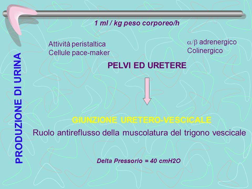1 ml / kg peso corporeo/h PELVI ED URETERE adrenergico Colinergico Attività peristaltica Cellule pace-maker GIUNZIONE URETERO-VESCICALE Ruolo antirefl