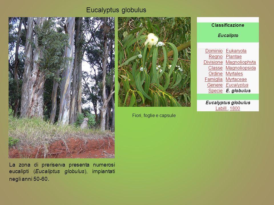 Fiori, foglie e capsule Eucalyptus globulus Classificazione Eucalipto DominioEukaryota RegnoPlantae DivisioneMagnoliophyta ClasseMagnoliopsida OrdineM