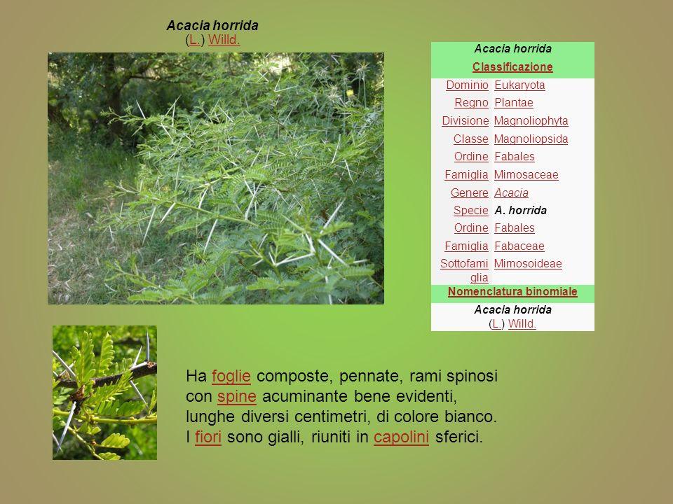 Acacia horrida Classificazione DominioEukaryota RegnoPlantae DivisioneMagnoliophyta ClasseMagnoliopsida OrdineFabales FamigliaMimosaceae GenereAcacia