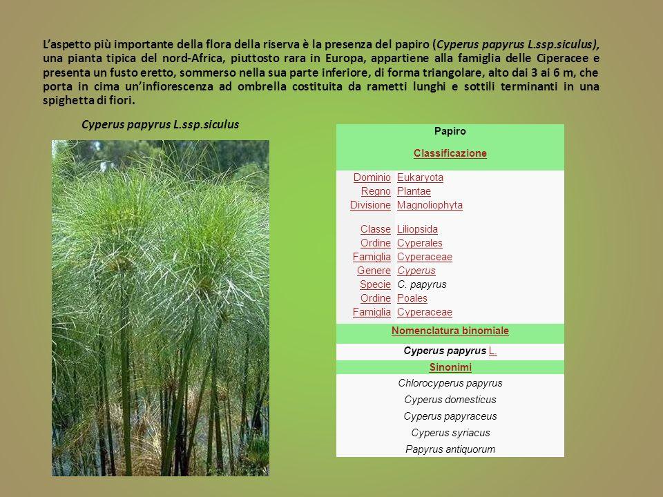 Cyperus papyrus L.ssp.siculus Laspetto più importante della flora della riserva è la presenza del papiro (Cyperus papyrus L.ssp.siculus), una pianta t