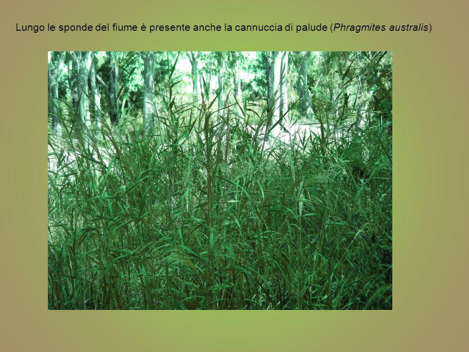 Cannuccia di palude Phragmites australis Classificazione scientifica DominioEukaryota RegnoPlantae DivisioneMagnoliophyta ClasseLiliopsida OrdinePoales FamigliaPoaceae SottofamigliaArundinoideae GenerePhragmites SpecieP.