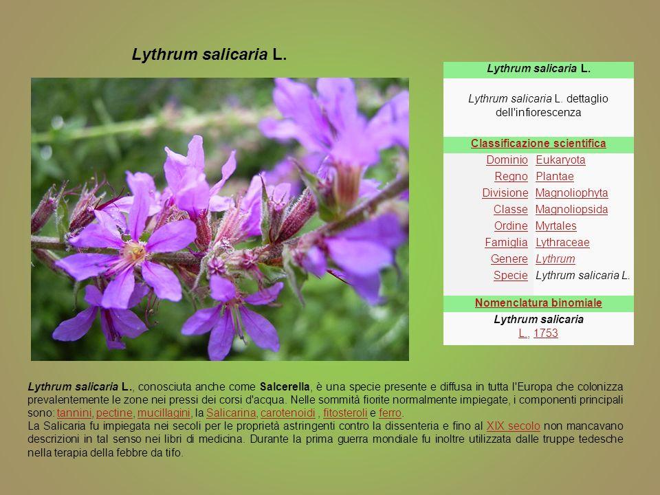 Lythrum salicaria L. Lythrum salicaria L. dettaglio dell'infiorescenza Classificazione scientifica DominioEukaryota RegnoPlantae DivisioneMagnoliophyt