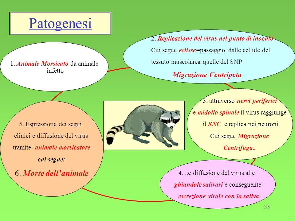 25 Patogenesi 1. Animale Morsicato da animale infetto 2. Replicazione del virus nel punto di inoculo Cui segue eclisse=passaggio dalle cellule del tes