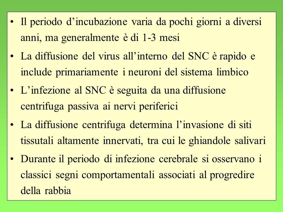 28 Il periodo dincubazione varia da pochi giorni a diversi anni, ma generalmente è di 1-3 mesi La diffusione del virus allinterno del SNC è rapido e i