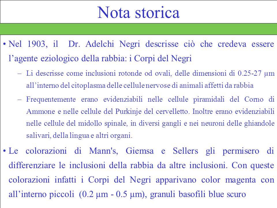 35 Nota storica Nel 1903, il Dr. Adelchi Negri descrisse ciò che credeva essere lagente eziologico della rabbia: i Corpi del Negri –Li descrisse come