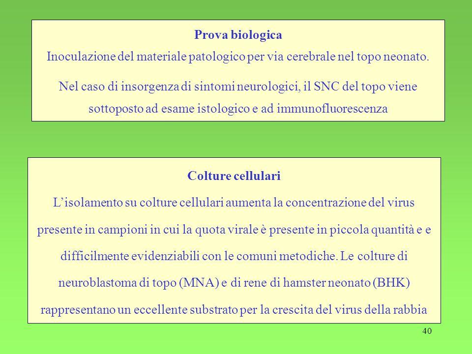 40 Colture cellulari Lisolamento su colture cellulari aumenta la concentrazione del virus presente in campioni in cui la quota virale è presente in pi