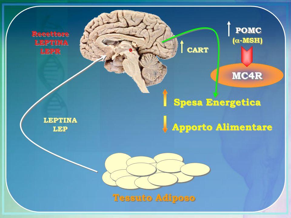 MC4RMC4R Recettore LEPTINA LEPR Recettore LEPTINA LEPR LEPTINA LEP LEPTINA LEP Tessuto Adiposo CART ( -MSH) POMC Spesa Energetica Apporto Alimentare