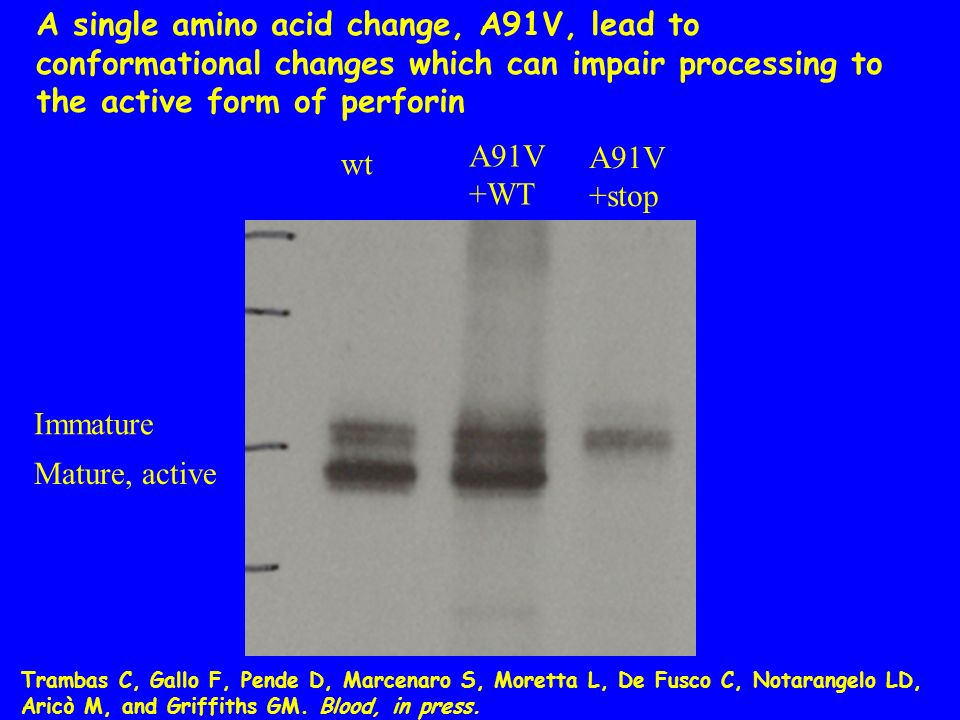 wt A91V +WT A91V +stop A single amino acid change, A91V, lead to conformational changes which can impair processing to the active form of perforin Imm