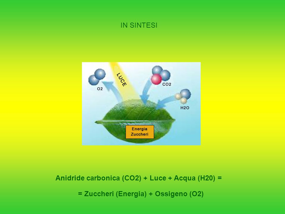 Anidride carbonica (CO2) + Luce + Acqua (H20) = = Zuccheri (Energia) + Ossigeno (O2) IN SINTESI