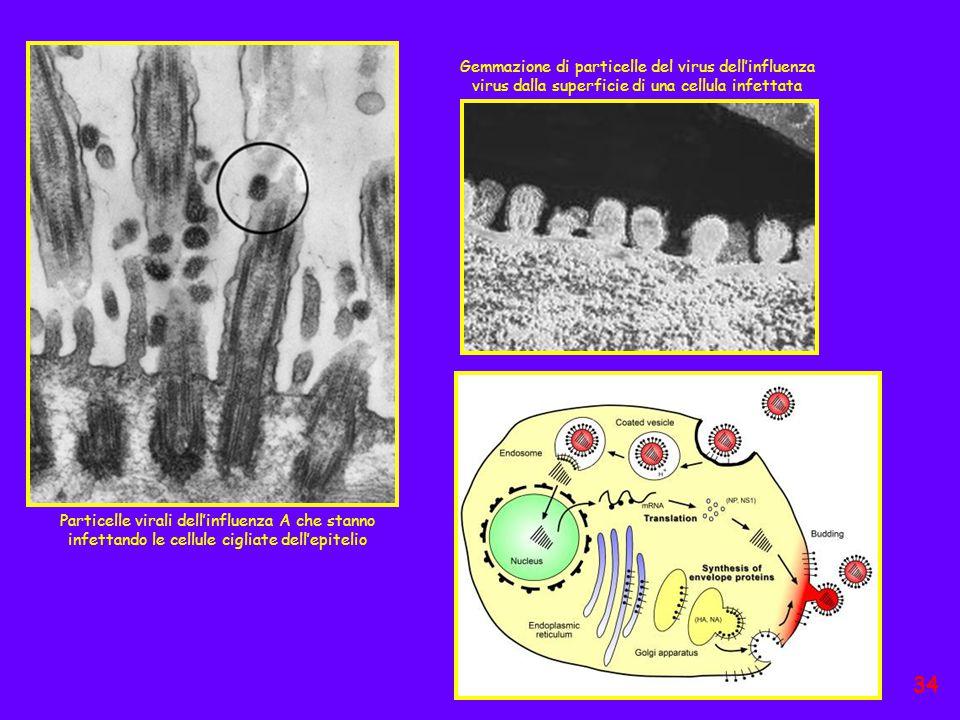 Particelle virali dell'influenza A che stanno infettando le cellule cigliate dell'epitelio Gemmazione di particelle del virus dell'influenza virus dal