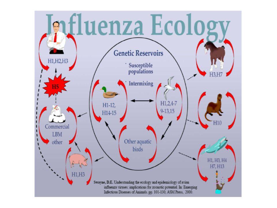 Scenario - 3 GRANDI MODELLI Tempo Impatto Il virus aviare viene trasmesso efficentemente da uomo a uomo .
