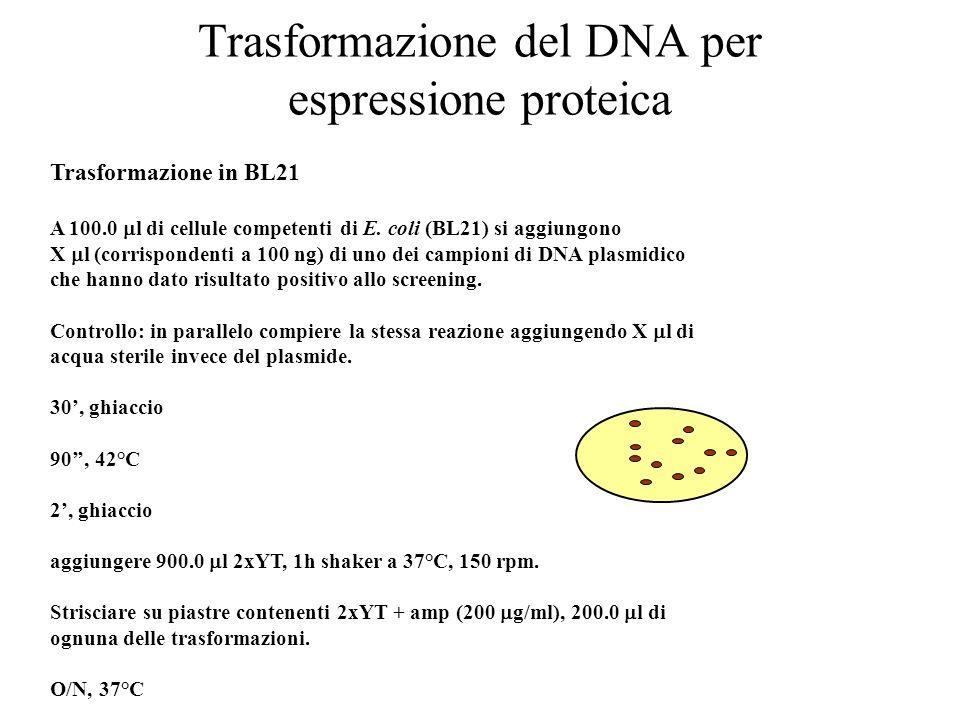 Trasformazione del DNA per espressione proteica Trasformazione in BL21 A 100.0  l di cellule competenti di E. coli (BL21) si aggiungono X  l (corris