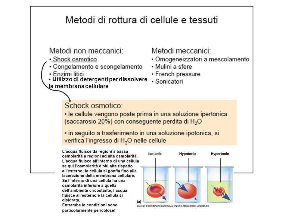 Utilizzo di detergenti per dissolvere la membrana cellulare