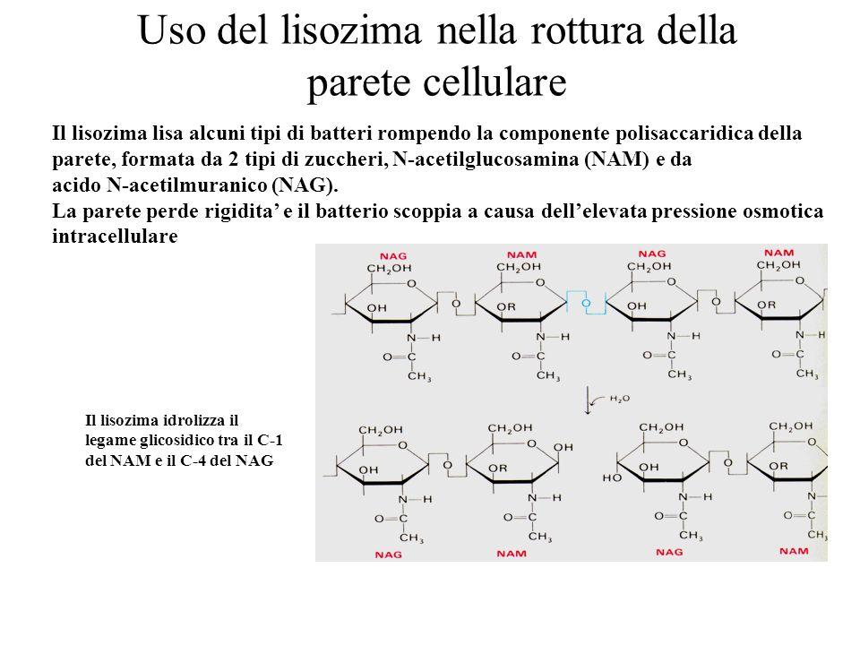 Uso del lisozima nella rottura della parete cellulare Il lisozima lisa alcuni tipi di batteri rompendo la componente polisaccaridica della parete, for