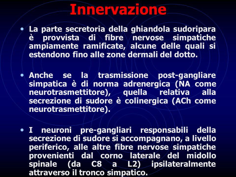 Innervazione La parte secretoria della ghiandola sudoripara è provvista di fibre nervose simpatiche ampiamente ramificate, alcune delle quali si esten