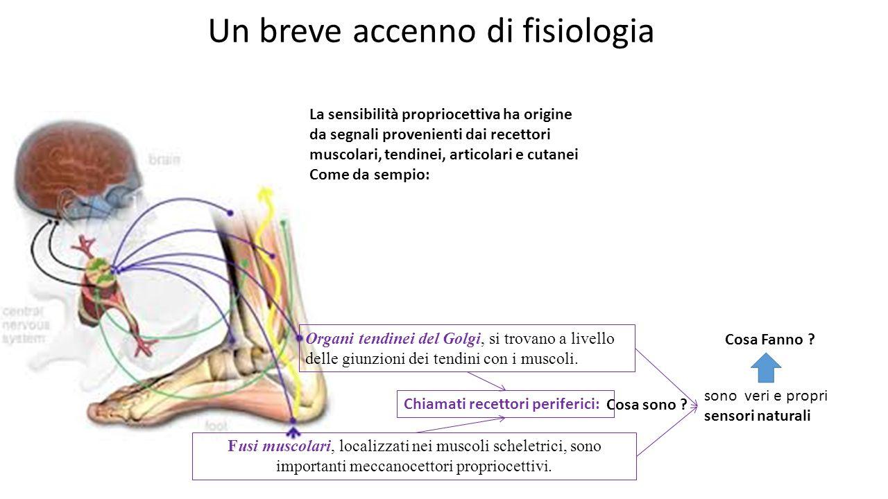 Un breve accenno di fisiologia Organi tendinei del Golgi, si trovano a livello delle giunzioni dei tendini con i muscoli.
