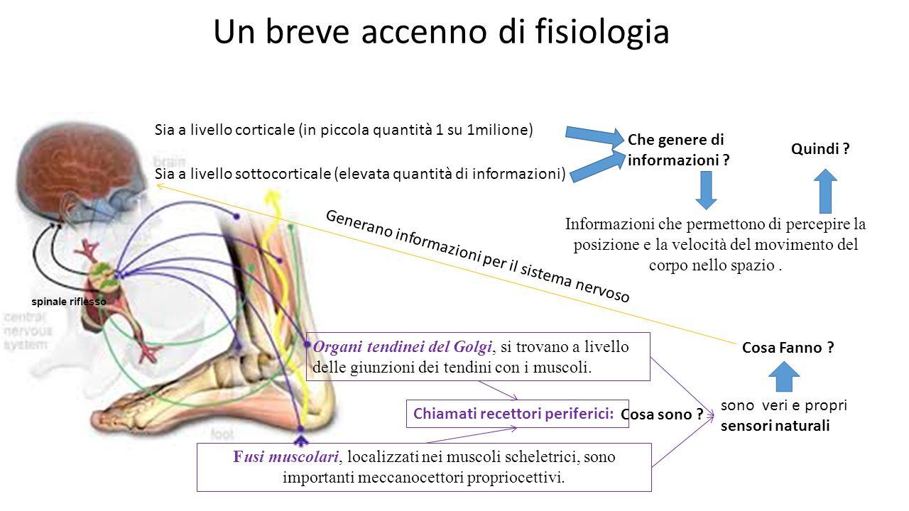 Un breve accenno di fisiologia Organi tendinei del Golgi, si trovano a livello delle giunzioni dei tendini con i muscoli. Fusi muscolari, localizzati